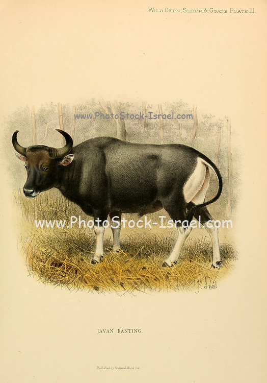 The banteng (Bos javanicus; Here as Javan Banting Bos sondaicus typicus) also known as tembadau, is a species of cattle found in Southeast Asia. colour illustration From the book ' Wild oxen, sheep & goats of all lands, living and extinct ' by Richard Lydekker (1849-1915) Published in 1898 by Rowland Ward, London