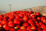 Israel, Jordan Valley, Kibbutz Ashdot Yaacov, Tomato harvesting
