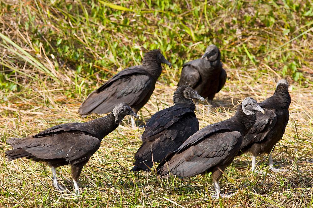 Black vultures, Coragyps atratus, in the Everglades, Florida, USA