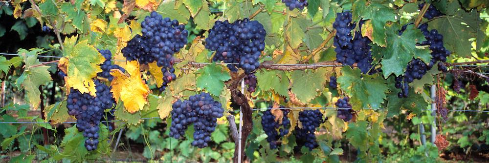 Indigo muscat grapes await harvesting in Crestet, Provence, France. ©Jill Ergenbright