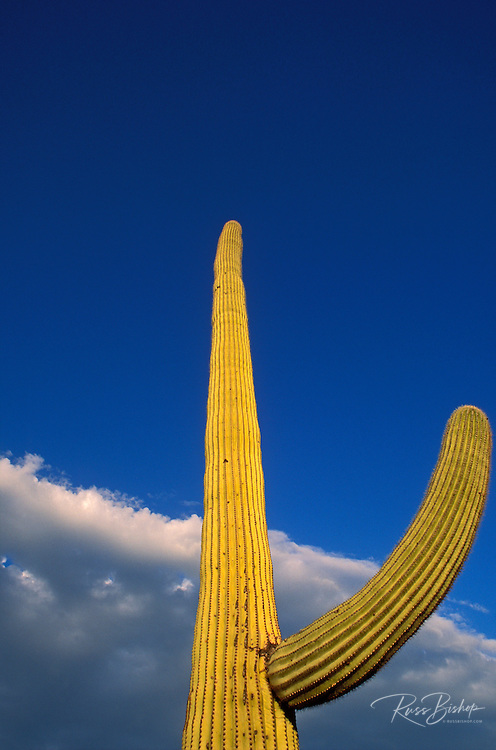 Evening light on Saguaro Cactus, Organ Pipe Cactus National Monument, Arizona USA
