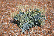 Sea kale, Shingle Street, Suffolk, England