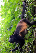 A Mantled Howler Monkey (Allouata palliata) hangs by its prehensile tail and calls. Drake Bay, Corcovado National Park, Golfito, Costa Rica. 27Nov13