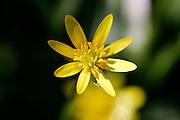 Wild Yellow Flower, England