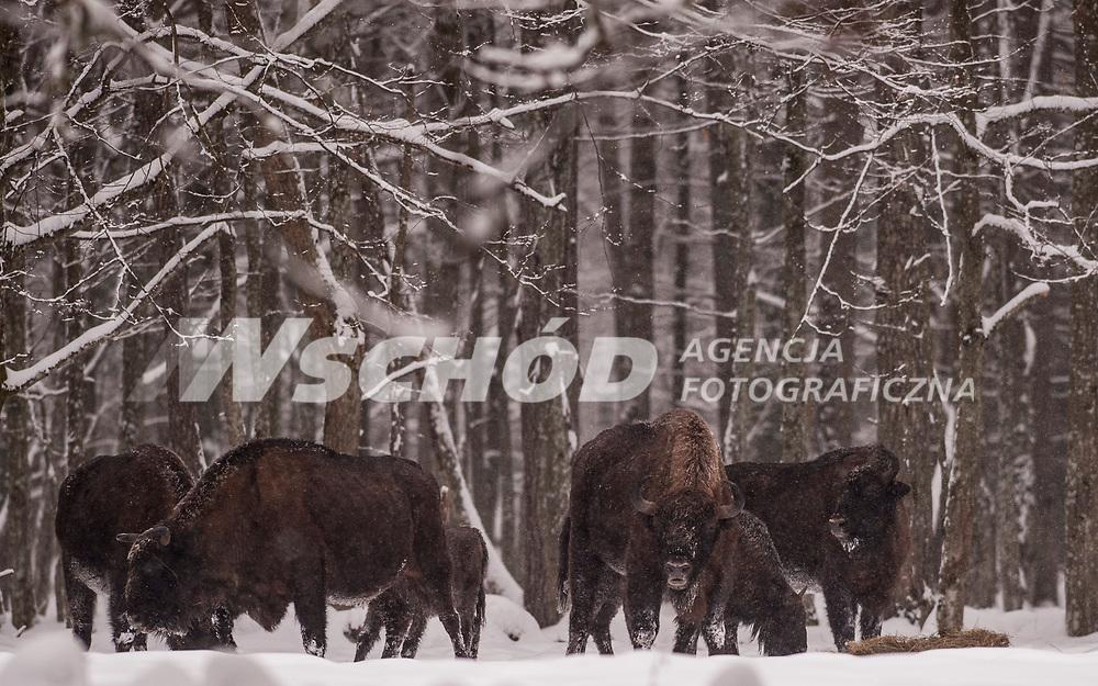 20.02.2013 Puszcza Bialowieska Bialowieska N/z dziko zyjace zubry w poblizu miejsca zimowego dokarmiania fot Michal Kosc / AGENCJA WSCHOD