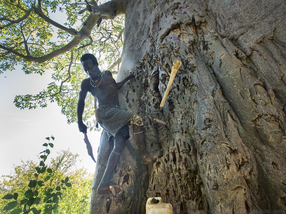 Isaya getting honey in a Baobab tree. At the Hadza camp of Senkele.