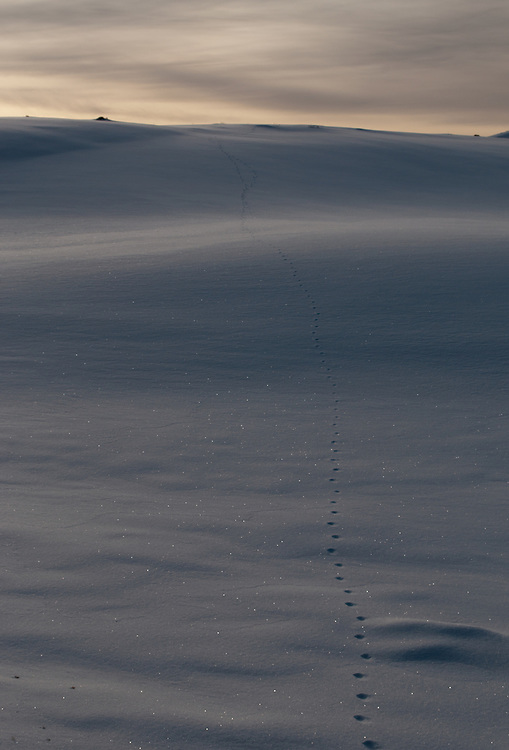 Animal tracks in snow lead into the distance at sunset in Chesaw, Washington.