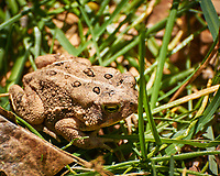 Fowler's Toad. Image taken with a Nikon N1V3 camera and 70-300 mm VR lens (ISO 200, 300 mm, f/5.6, 1/640 sec).