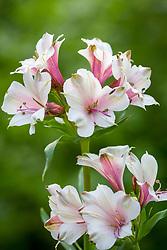 Alstroemeria 'K2'. Peruvian Lily