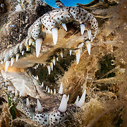 American crocodile (Crocodylus acutus) jaws in shallow seagrass meadow. Jardines de la Reina, Gardens of the Queen National Park, Cuba.