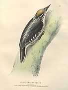 Eurasian three-toed woodpecker (Picoides tridactylus syn Picus tridactylus) color plate of North American birds from Fauna boreali-americana; or, The zoology of the northern parts of British America, containing descriptions of the objects of natural history collected on the late northern land expeditions under command of Capt. Sir John Franklin by Richardson, John, Sir, 1787-1865 Published 1829