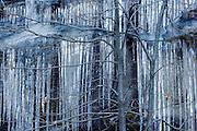 Oak tree and ice, Yosemite National Park, California
