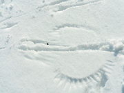 Impression of robin feathers on the snow, as they're trying to find food and survive.