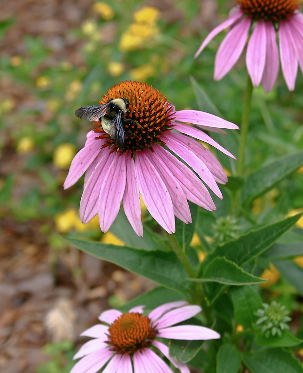 Ecinacea or purple cone flower is food for a bumblebee. this was taken from mt Charlotte, North Carolina garden