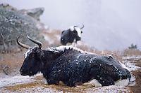 Nepal, Region du khumbu, Zone de l'Everest, Yak sous la neige
