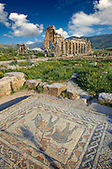 Roman mosaic in the House of the Athlete or Desultor, located near the forum, contains a humorous mosaic of an athlete or acrobat riding a donkey back to front while holding a cup in his outstretched hand. It may possibly represent Silenus also known as the wine God Dionysus or Bacchus. Looking towards the Basilica. Volubilis Archaeological Site, near Meknes, Morocco .<br /> <br /> Visit our MOROCCO HISTORIC PLAXES PHOTO COLLECTIONS for more   photos  to download or buy as prints https://funkystock.photoshelter.com/gallery-collection/Morocco-Pictures-Photos-and-Images/C0000ds6t1_cvhPo<br /> .<br /> <br /> Visit our ROMAN ART & HISTORIC SITES PHOTO COLLECTIONS for more photos to download or buy as wall art prints https://funkystock.photoshelter.com/gallery-collection/The-Romans-Art-Artefacts-Antiquities-Historic-Sites-Pictures-Images/C0000r2uLJJo9_s0