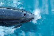 Bottlenose dolphins (Tursiops truncatus) Marlborough Sounds, New Zealand [size of single organism: 3 m] | Große Tümmler (Tursiops truncatus) ist eine in allen Ozeanen beheimatet. Marlborough Sounds, Neuseeland