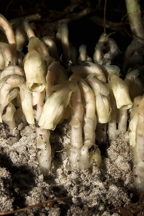 This parasitic plant in the Ocala National Forest gets its nourishment from tree roots. It flowers in the fall - popping out of the ground like a mushroom, flowers, then turns black and dies.