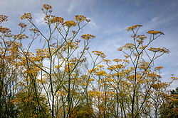 Fennel against blue sky - Foeniculum vulgare