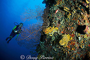 diver examines coral and sponge encrusted wall at New Guinea Reef, Saint Vincent, St. Vincent and the Grenadines ( Eastern Caribbean Sea )   MR 251