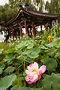 Lotus flowers in front of a Chinese style Pavilion at Beihai Park in Beijing, China
