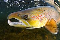 Atlantic salmon, Salmo salar.River Orkla, Norway