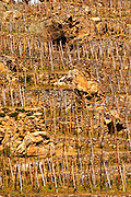Graphic geometric vineyard with vines trained in 'en echalat' with supporting wooden stakes, winter pruned with no branches or leaves. Big stone rocks. Very steep hill slope. Terraced vineyards in the Cote Rotie district around Ampuis in northern Rhone planted with the Syrah grape. Ampuis, Cote Rotie, Rhone, France, Europe