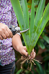 Lifting and dividing an iris in late summer. Trimming the leaves
