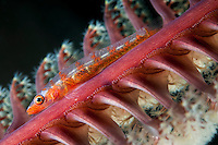 Whip Coral Goby perched on Sea Pen<br /> <br /> Shot in Indonesia