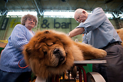 © London News Pictures. 08/03/2012.  Pearl and Derek Brown preparing Kido the Chow Chow for show on Day one of Crufts at the Birmingham NEC Arena on March 8, 2012 in Birmingham.  Crufts, which is the largest annual dog show in the world, hosts over 20,000 dogs and owners who compete in a variety of categories. Photo credit : Ben Cawthra/LNP