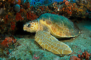 Loggerhead Sea Turtle (Caretta caretta) in Palm Beach County, FL.