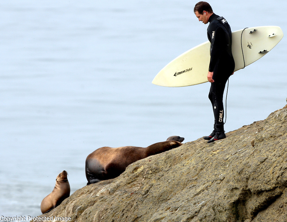 A surfer looks for a way around a sea lion and her pups at Lighthouse Point in Santa Cruz as he heads out to the Steamer Lane break.<br /> Photo by Shmuel Thaler <br /> shmuel_thaler@yahoo.com www.shmuelthaler.com