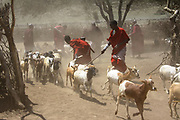 Masai (Also Maasai) Tribesmen an ethnic group of semi-nomadic people. Maasai men herding livestock Photographed in Tanzania
