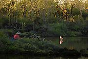 Tourist and Flamingo, Phoenicopterus ruber, Playa Bachas, Santa Cruz Island, Galapagos Islands, Ecuador, South America
