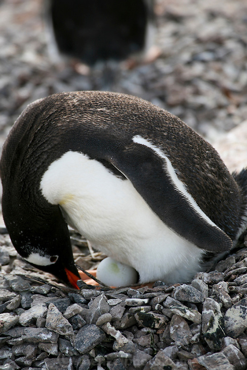 Nesting pairs on the Gentoo penguin colony on the island tend their eggs and chicks at Cuverville Island, Antarctic Peninsula. The penguins stay vigilant to ward off skua birds who try to eat the eggs and chicks..