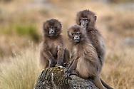 Drei junge Dscheladas (Theropithecus gelada) beim Spielen, Simien Nationalpark, Debark, Region Amhara, Äthiopien<br /> <br /> Three young geladas (Theropithecus gelada) playing, Simien National Park, Debark, Amhara Region, Ethiopia