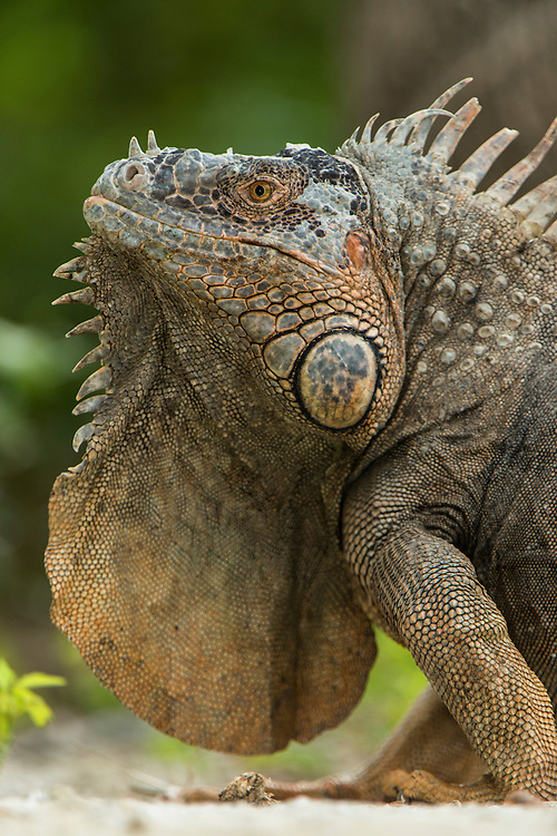 Green Iguana (iguana iguana)<br /> Banco Chinchorro, <br /> Offshore Atoll<br /> Yucatan Peninsula<br /> Mexico<br /> Central America
