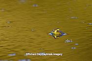 02471-00603 Bull Frog (Rana catesbeiana) in water, Marion Co., IL