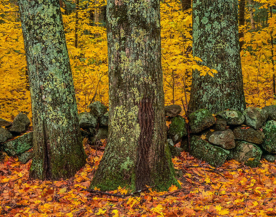 Three large tree trunks and stonewall in fall, colorful saplings and groundfall leaves, Sutton, NH