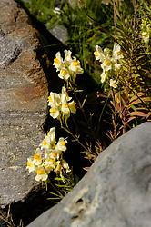 Vlasbekje, Linaria vulgaris