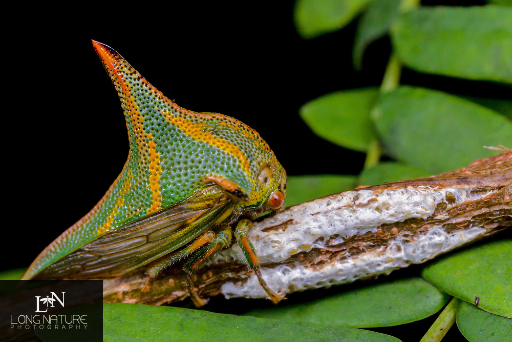 Thorn bug, Umbonia crassicornis standing guard over her brood.