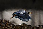 Grey Heron in flight | Gråhegre i flukt