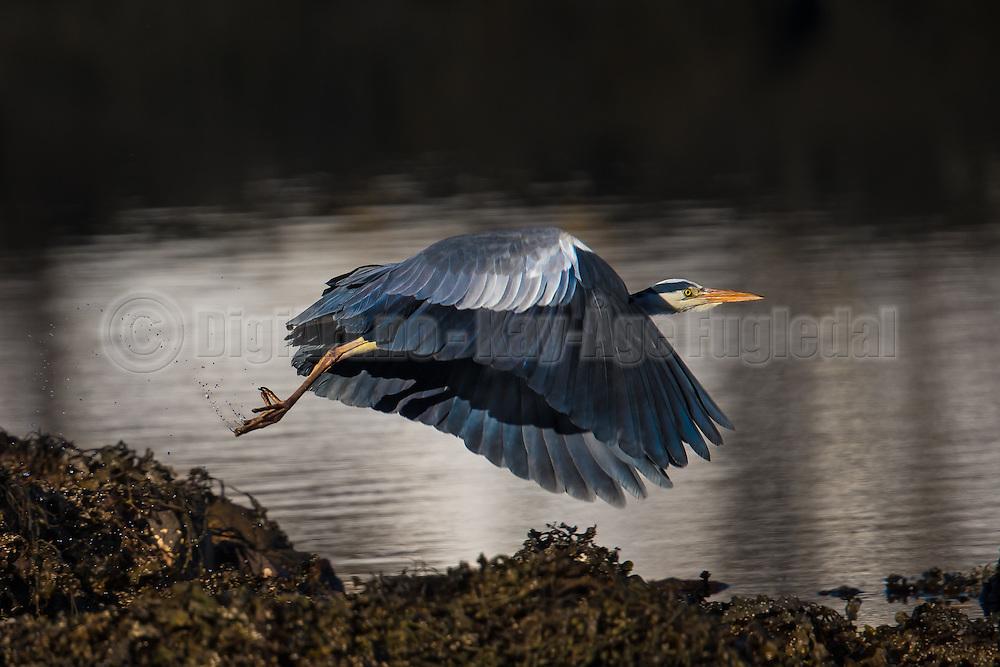 Grey Heron in flight   Gråhegre i flukt