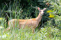 White-tailed Deer (Odocoileus virginianus) also known as the whitetail or Virginia deer, is a medium-sized deer native to the United States