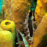 Clams and Yellow Tube Sponges, Doc Paulson, Grand Cayman