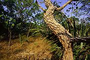 Thick Corky Bark<br />Typical of Cerrado Habitat.<br />Piaui State. BRAZIL.  South America<br />Threatened Habitat