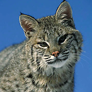 Bobcat, (Lynx rufus) Portrait of sub adult in foothills of Rocky mountains. Montana.  Captive Animal.