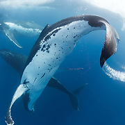 Humpback whales in a heat run, with six males competing for the attention of a female that already had a calf. Photographed in Vava'u, Kingdom of Tonga