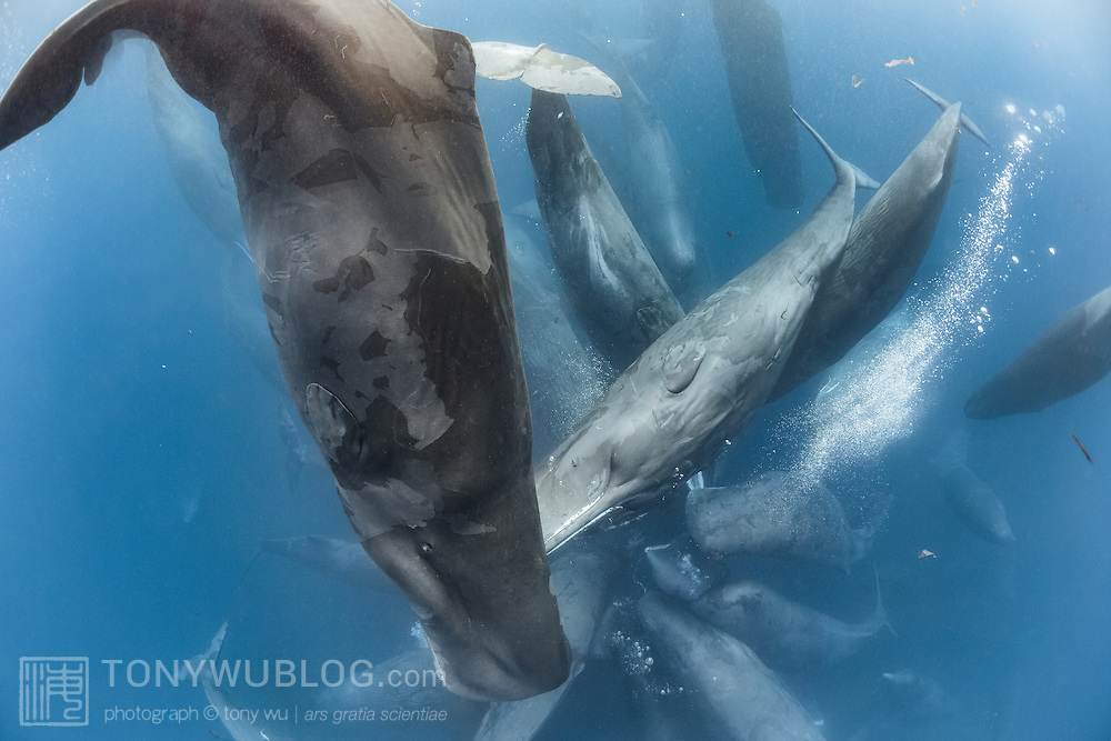 Large cluster of sperm whales (Physeter macrocephalus) that were part of an enormous superpod gathering comprising hundreds, if not thousands, of individuals. As is typical of sperm whale social activity, there was a lot of tactile contact accompanied by biosonar clicking, with sloughing of skin, defecation, passing of gas. The water was milky white and oily from the activity.