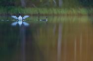 Black-throated loon, Gavia arctica, Kalix, Norrbotten, Sweden